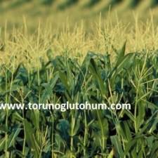 slajlık mısır tohumu fiyatları