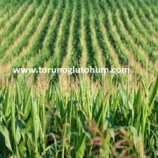 slajlık mısır tarlası