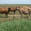 jersey cinsi inek fiyatları