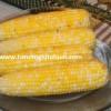 tatlı mısır tohumu satışı
