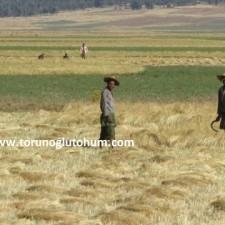 Ot Tipi Teff Grass tarlası