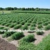 teff grass denemesi
