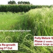 Ot Tipi Teff Grass yaz otu denemesi 2