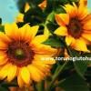 çerezlik ayçiçeği tohumu çeşitleri