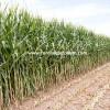 slajlık mısır tohumu C955