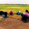 mercimek tohumu nereden alınır