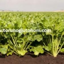 kws pancar tohumu çeşitleri
