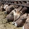 Sığır sayısında Konya birinci oldu