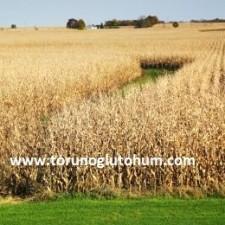 cin mısır çeşitleri