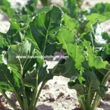 ithal pancar tohumu çeşitleri