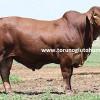 brahman sığır cinsi