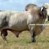 brahman sığır ırkı