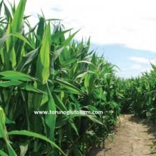 danelik mısır tohumu fiyatları