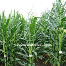danelik mısır yetiştiriciliği