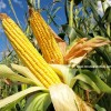 dekalb mısır tohumu fiyatları