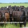 brangus sığır ırkı yetiştiriciliği