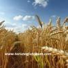 Sertifikalı Buğday Tohumu Çeşitleri