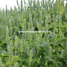 chia tohumu yetiştiriciliği