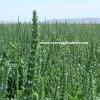 chia tohumu nereden alınır