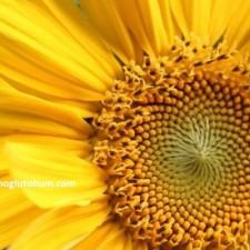 yağlık ayçiçeği tohumu fiyatları
