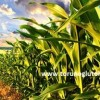 mısır tohumu fiyatları