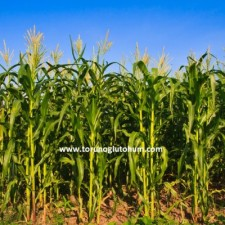 danelik mısır tohumları ve fiyatları