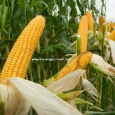 danelik mısır tohumu ekimi