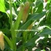 danelik mısır tohumu ekim zamanı