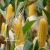 en iyi mısır tohumu hangisi