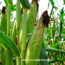 kws danelik mısır tohumu çeşitleri