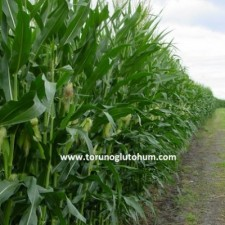 patlak mısır tohumu fiyatları