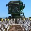 pamuk tarımı nerelerde yapılır