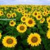 tunca ayçiçek tohumu