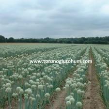 bayram 1 soğan tohumu fiyatları