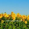 kuraklığa dayanıklı ayçiçeği tohumu