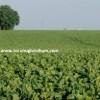 mohican pancar tohumu özellikleri