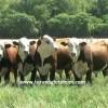 braford sığırı ithalatı