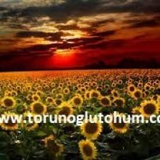 ayçiçeği tohumu nedir