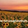 ayçiçeği tohumu fiyatları