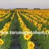 sanbro ayçiçeği tohumu