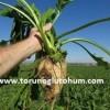 pancar tohumu çeşitleri