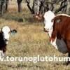inek türü ve süt verimi