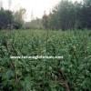 kuru fasulye hasat zamanı