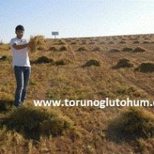 mercimek tohumu hasadı