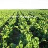 pancar tohumu yetiştiriciliği