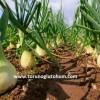taze soğan ne kadar sürede yetişir