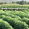 soya tohumu satışı