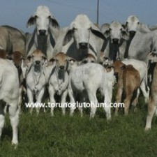 brahman sığırı et verim özellikleri