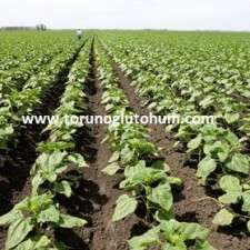 ayçiçeği tohumu ekimi