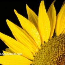 çerezlik ayçiçeği yetiştiriciliği